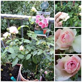 Mawar Kurfürstin sophie. Mawar Premium pertama yang kupunya, beli diskon doongg. Mawar ini wangi