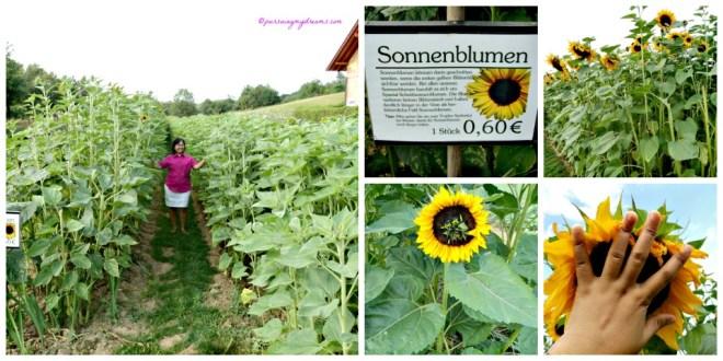 Bagian Kebun Bunga Matahari