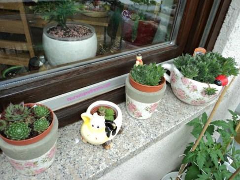 Beberapa Jenis Koleksi Sempervivum, makin Besarr