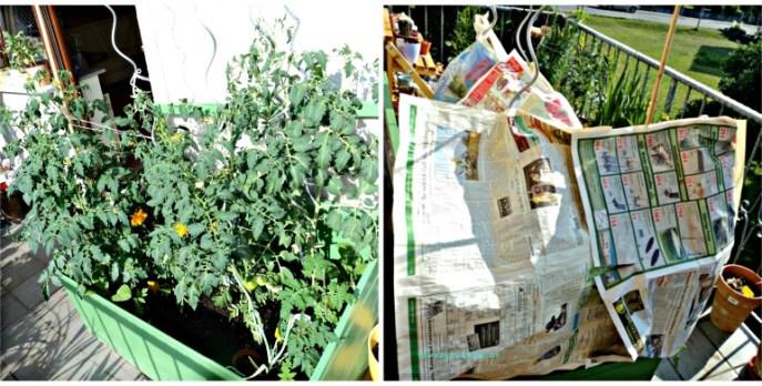 Tanaman tomat-tomatku kututupi koran selama panas terik, mulai jam 10 hingga jam 3 sore