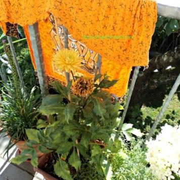 Bunga dahliaku yang ini juga langsung layu, jadi diberi pelindung seperti di foto