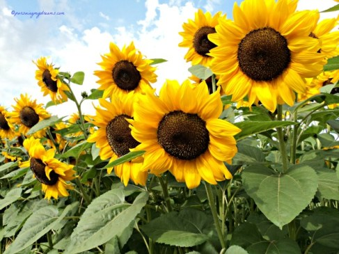 Best pic Sun flowers mau cetak buat kartupos ah