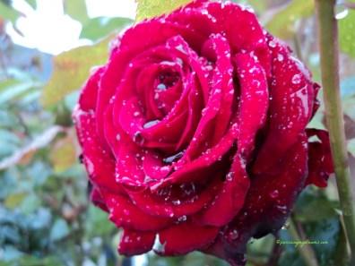 Umumnya kita Tahunya Bunga Mawar Hanya Berwarna Merah, tapi Pecinta Mawar Sejati Pasti tahu ada banyak sekali Warna bunga Mawar selain yang Merah begini
