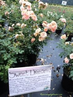 Mawar Sweet Dream