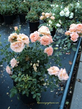Sweet Dream Rose