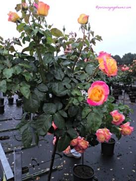 Pohon Mawar, warnanya cantik sekali  kombinasi dua Warna