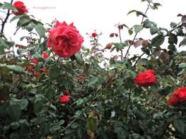 Mawar umumnya ya begini warnanya Merah