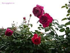 Pada umumnya mawar memiliki duri berbentuk seperti pengait yang berfungsi sebagai pegangan sewaktu memanjat tumbuhan lain