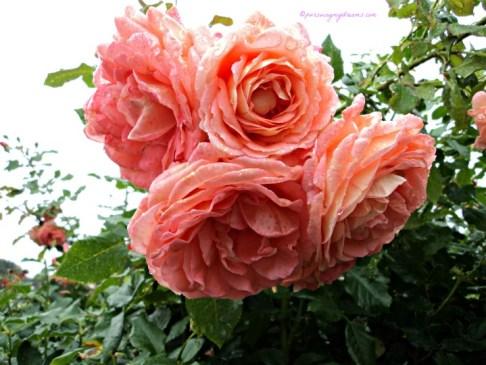 Pohon Mawar ini tingginya bisa hingga 2,5 Meter