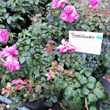 Berleburg Rose