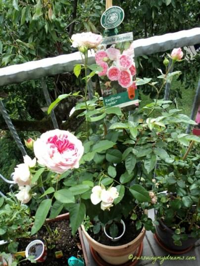 Mawar ini namanya Kurfürstin sophie