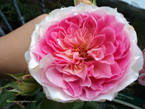 Bunga Mawarku Mekar Sempurna