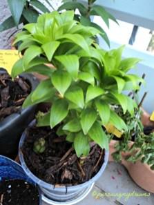 Setelah bunga Lilinya di pindahkan ke Pot baru akhirnya tumbuh dong
