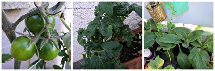Kiri tanaman tomat coklat masih kecil. Tengah Tomat Cherry. Kanan BUnga Fingerhut baru tahun depan berbunganya