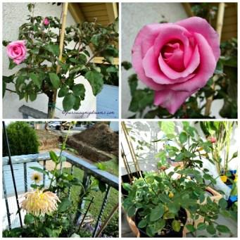 Mccartney Rose, Park kaktus dahlia dan Favorite Rose yang mulai muncul bakal bunganya lagi