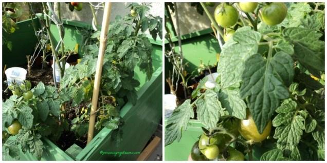 Tomat Cherry banyak buahnya euy