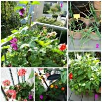 No. 1 yang ungu bunga Malve, yang merah putih dahlia santa klaus. No.2 Bawang merah yang bulat. No.3 Dahlia yang putih dan merah nanam dari benihnya digabung dengan dahlia lain No.4 Marigold. No.5 Geranium nanam dari Benih