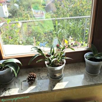 3 pot Anggrek. yang Dendrobium berbunga lagi dong
