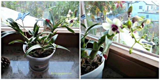Bunga Dendrobiumnya Berbunga lagi