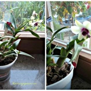 Bunga Dendrobiumnya Berbunga lagi. Foto 16.10.2013