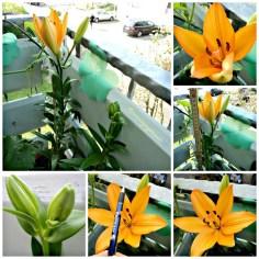 Bunga Lili Asiatik Generasi kedua