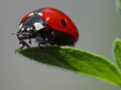 Ladybird atau Ladybug. kumbang koksi atau Kepik Vedalia cardinalis dikenal sebagai sahabat petani karena beberapa anggotanya memangsa serangga-serangga hama seperti kutu daun. Sumber Foto: Wikipedia