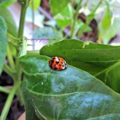 Ladybug atau kumbang koksi pada tanaman Cabe ku. Untung sudah tahu kalau kumbang ini serangga baik