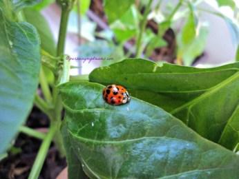 Ladybug atau kumbang koksi pada tanaman Cabe ku. Untung sudah tahu kalau kumbang ini serangga baik yaa