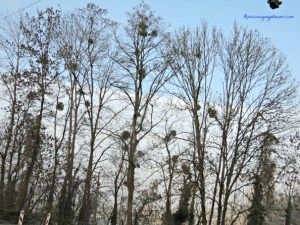 Bentuk bulat-bulat di pohon tsb adalah sarang burung loh