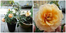 Bunga Mawar Favorit hits masih subur sekali tetap berbunga. Tahun ini berbunga 3 kali senangnya hatiku. Foto Nov 2013