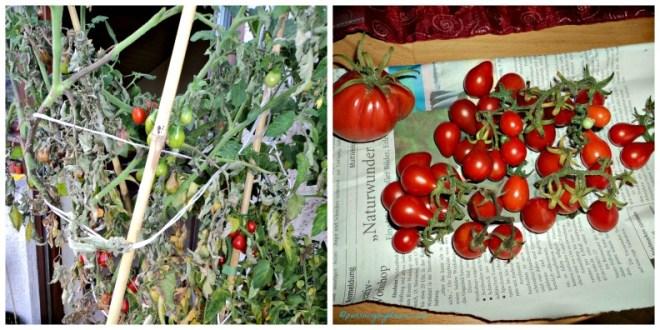 Ini tomat yang di pot hijau besar, masih sayang dibongkar karena masih tetap hidup