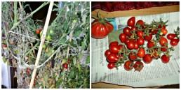 Ini tomat yang di pot hijau besar, masih sayang dibongkar karena masih tetap hidup. Kanan panen tomatt