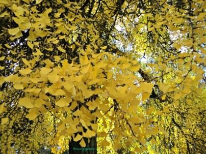 Herbstlaub autumn leaves. Bad Wimpfen 18.10.2013