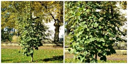 Pepohonan lain yang pendek sudah berubah warna daun-daunna sedangkan tanaman ini masih tetap hijau, sungguh kuat