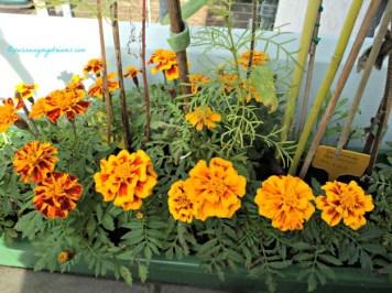 """Aztec Marigold (Tagetes erecta) dalam bahasa Jerman disebut Studentenblume di Indonesia dikenal sebagai bunga """"tahi ayam"""""""