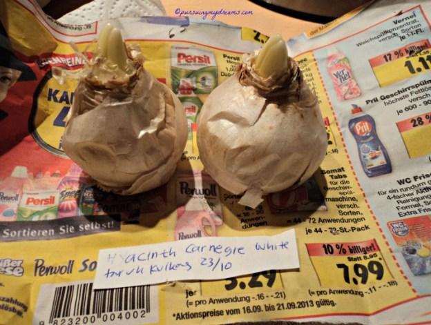23 November 2013 sudah satu bulan Umbi Hyacint berada dalam kulkas, siap ditanam. Sudah mulai tumbuh yaa