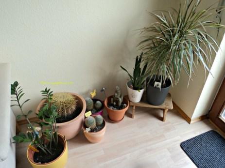 Kaktus-kaktus di ruang tamu. Dilokasi ini kena matahari pagi langsung masuk melalui jendela. Foto Januari 2014