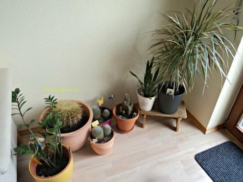 Kaktus-kaktus di ruang tamu