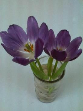 Purple Prince in vase