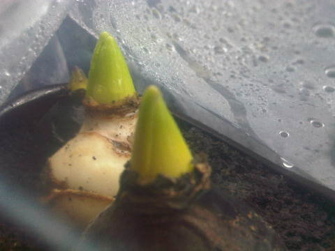 Bibit Bunga Hyacinth yang ditanam di Jakarta. Hyacinth-hyacinth sudah mulai besar tunasnya. Steven email 8 Jan 2014