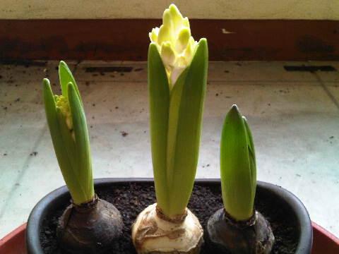Bunga Hyacinth nya Steven 22 Januari 2014 yang tengah mulai kelihatan bunganya. Sepertinya warnanya kuning yaa, tunggu mekar sempurna.