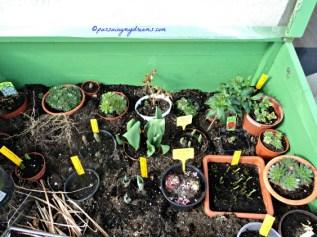 Isi Greenhouse. Ada Sempervivum, tulip, Grape Hyacint, anakan lili, Hyacint dll