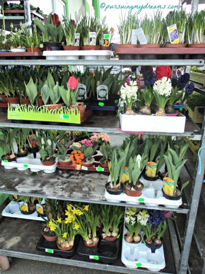 Hyacint, tulip, krokus, daffodil siapa mau boronggg