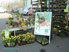 Edisi Bunga-bunga buat Paskah kebanyakan warna kuning, misal bunga daffodil