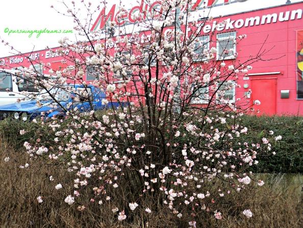 Pohon Musim semi di pinggir jalan, tidak tahu namanya. Bunganya keluar duluan, setelah itu baru tumbuh daunnya. Foto 15 Feb 2014