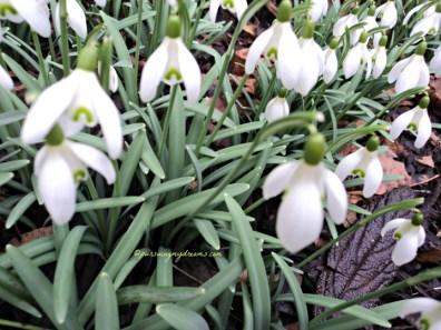 Cantik ya bentuknya seperti lonceng. Die Schneeglöckchen (Galanthus) atau Snowdrop