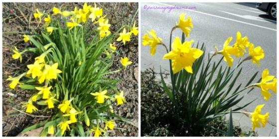 Dafodil (Narcissus) menyemarakkan musim semi dan perayaan Paskah