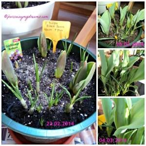 Awal Maret mulai terlihat bakal bunganya, warna awal hijau, saya kira tulip hijau