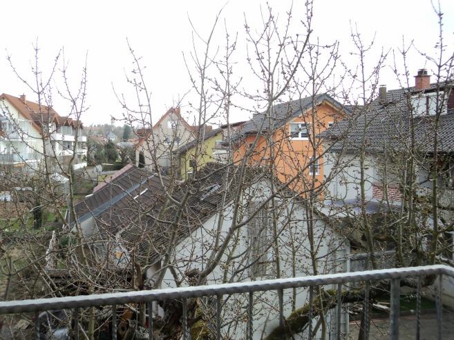 Pohon Ceri tetangga sudah banyak bakal bunganya. Foto 19 Maret 2014