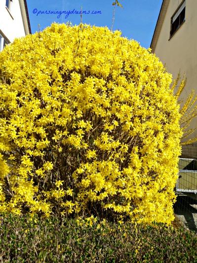 Forsythia flower. Die Forsythien (Forsythia). Pohon Musim semi, cantik ya kalau dibentuk membulat